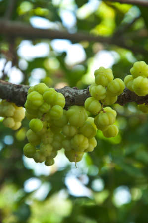gooseberry: Star gooseberry or otaheite gooseberry the local plant in thailand Stock Photo