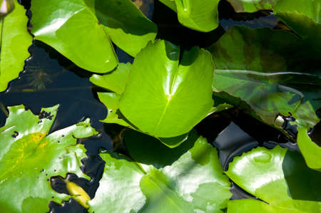 afloat: The lotus leaf in the garden pond always has already been stained with full water bead in the morning  Stock Photo