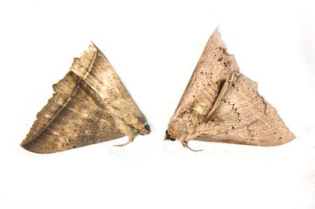 carcasse: papillon de la carcasse isol� sur fond blanc