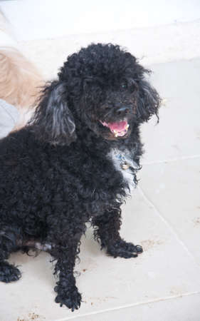 pupy: a standard poodle male puppy