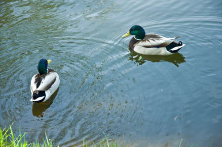 mated: Two Mallards mallard duck on the lake Stock Photo