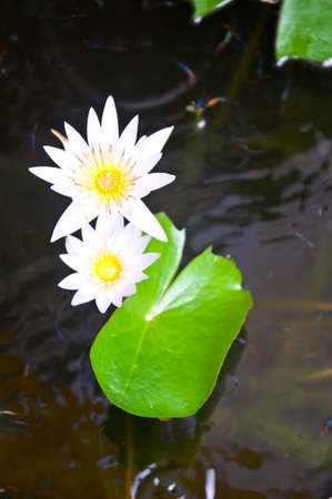 two white lotus flower. photo