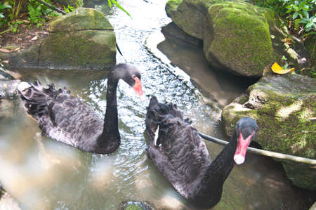 black swan swimming on a pool of water photo