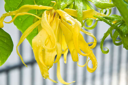 odorous: Yellow Ylang-Ylang flower with water drops