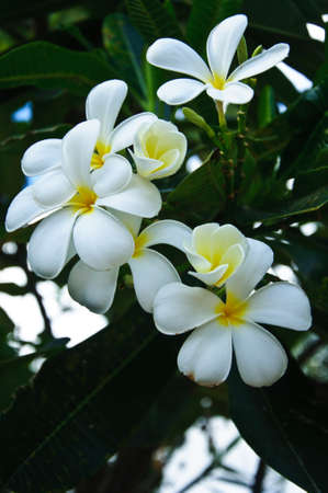 champa flower: Leelavadee  Plumeria  tropical flower
