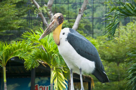 Lesser Adjutant, a bare neck and head bird photo