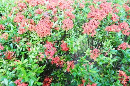 ixora flower in garden photo