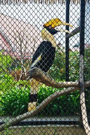 srokaty: wielka pied hornbill w klatce