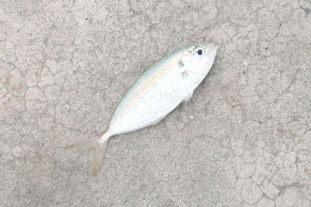 The yellow stripe trevally fish on the texture of the concrete Stock Photo
