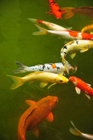 Japanese koi fish swimming in the Pond photo