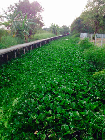 water hyacinth: Water Hyacinth in canal countryside of Thailand Stock Photo