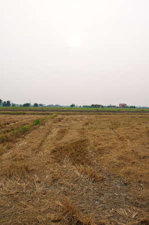 Thai rice field after harvesting