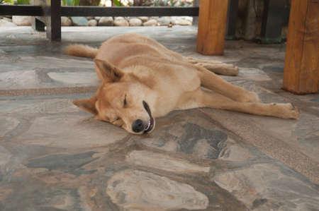 solter�a: perro sue�o tailand�s en la ma�ana