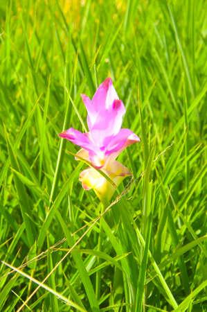 Beautiful siam tulip flowers in Thailand photo