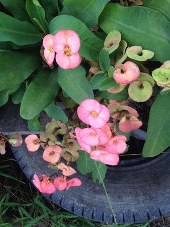 poi: Euphorbia milli Desmoul