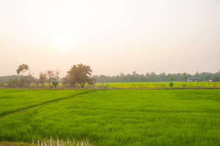 Paddy field with sunrise background photo