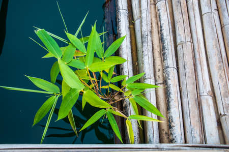 chlorophyl: young green plant on water Stock Photo