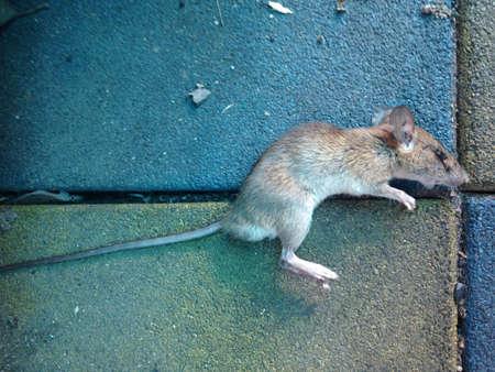 dead rat: rat dead on ground