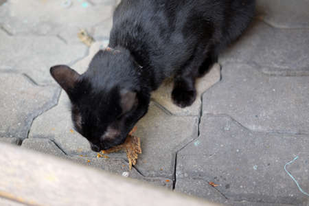cat eating: Black cat eating fish in the street