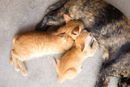 brood: Two kittens brood feeding by mother cat Stock Photo
