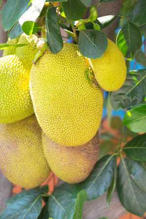 jack fruit: Jack fruit on the tree