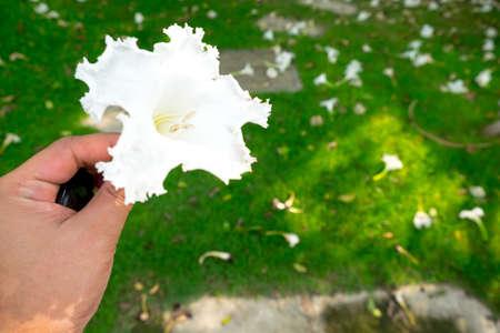 to seem: Dolichandrone serrulata (DC.) Seem blossom in hand