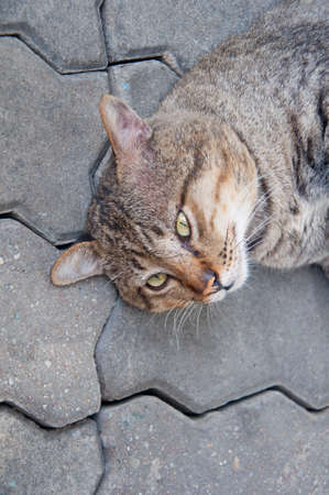 Thai cat yellow eye portrait in the ground. Brown tabby cat.