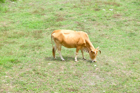Brown cow in a green field, eating grass