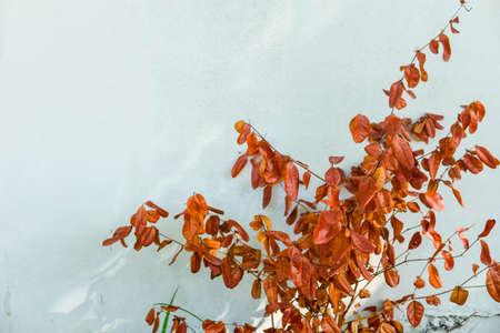 집에서 시멘트 벽에 죽은 갈색 잎 스톡 콘텐츠 - 92245293