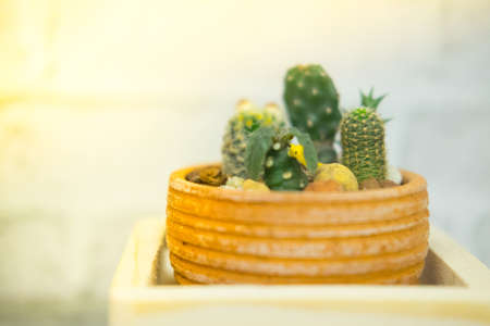 House cactus in a pot decoration in house