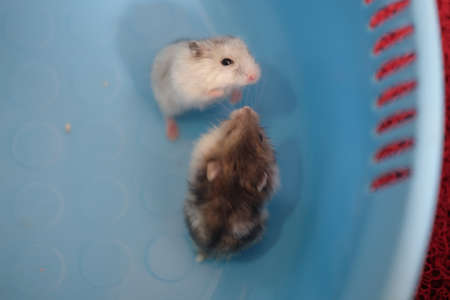 Close up of two baby hamsters