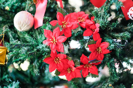 Beautiful red Poinsettia (Euphorbia pulcherrima), Christmas Star flower. Christmas decorations and presents Фото со стока