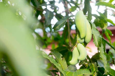 Mango hang in mango tree at farm in Thailand Imagens