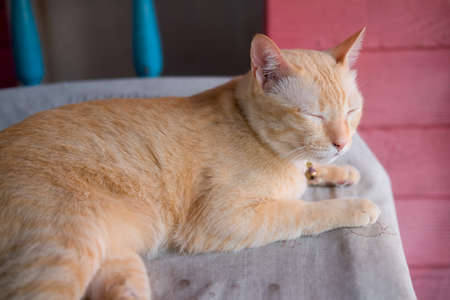 Thai orange tabby cat lying on floor