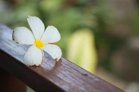 Close up of white frangipani flower or Leelawadee
