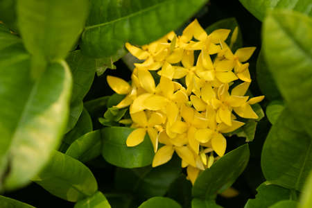 Close up of yellow ixora flower and green leaves