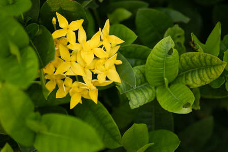 Yellow Ixora flower against green leaves background