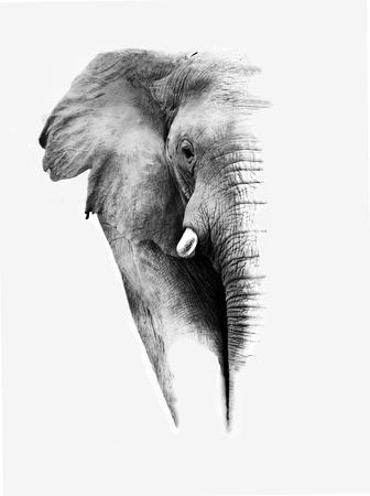 elephant head: Elephant Stock Photo