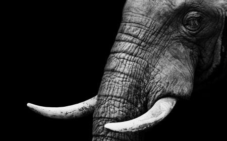 elephant head: Elephant Close Up