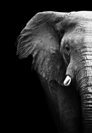 head close up: Elephant Stock Photo
