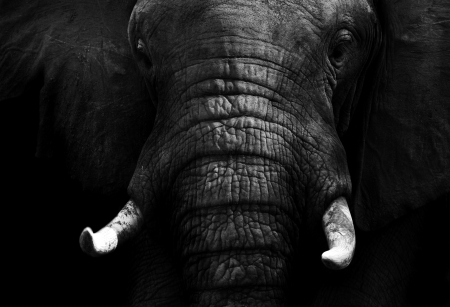head close up: Dark Elephant
