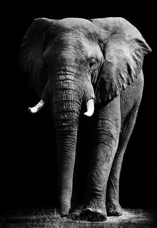 elephant head: Large African Elephant Stock Photo