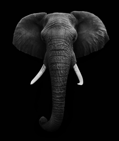 Olifant hoofd op zwarte achtergrond Stockfoto