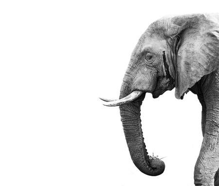animal in the wild: Elefante