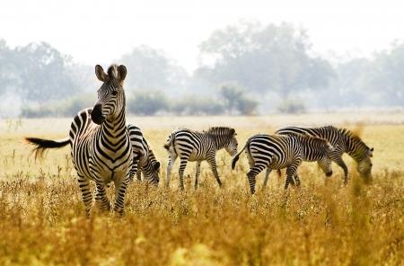 Zebra 写真素材