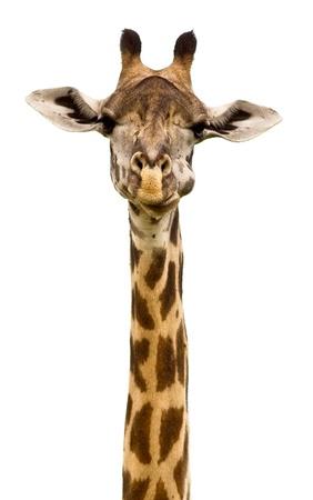 Girafe Banque d'images - 20215734