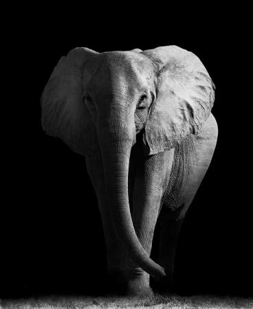 sturdy: Elephant Stock Photo