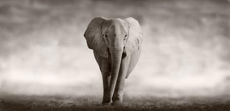 Wilde Afrikaanse olifant lopen over een Afrikaanse vlakte Stockfoto
