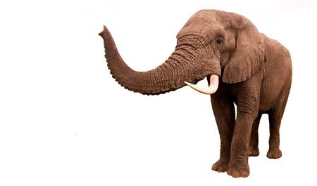 Afrikaanse olifant die op een witte achtergrond