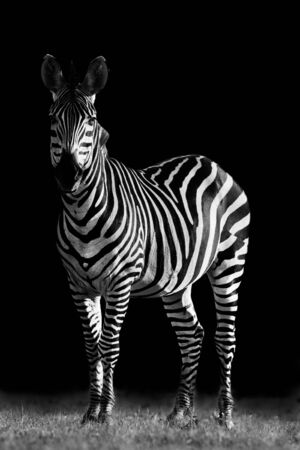 Creative black and white image of a Zebra
